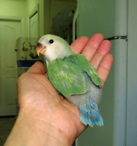 super tame handfed lovebird baby BOY (seagreen)==ON HOLD
