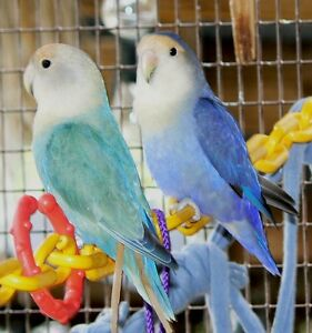 LF Lovebird pair or Parrotlets