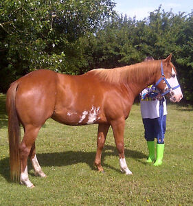 REGISTERED APHA MARE IN FOAL - PRICE REDUCED!