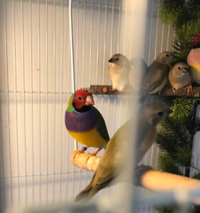 Gouldian finches(young)