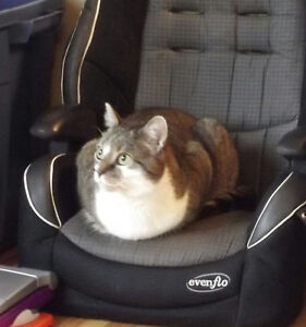 Lily is a grey and white tabby cat