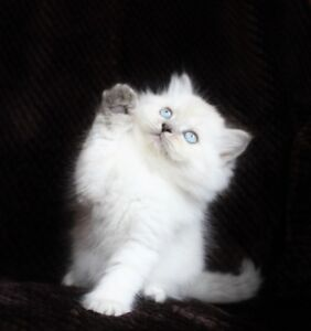 Beautiful Persian Himalayan kittens =ộ⍛ộ=