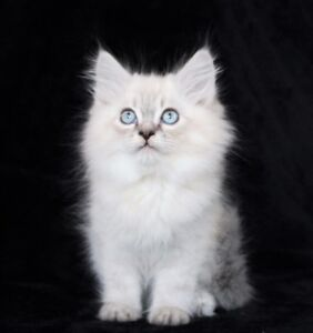 Lovely Ragdoll Kittens are Avaiable for Good Homes