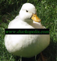 Duckopolis is taking 2016 Pre-Orders! Poultry & Sheep for sale!
