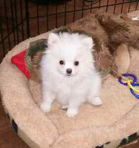Teacup Pomeranian Cross Puppy