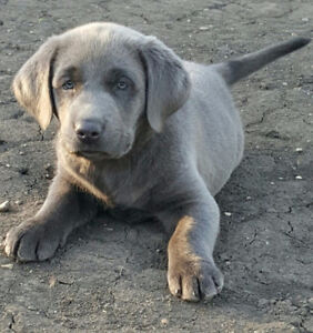 Silver and Charcoal Lab Puppies for Christmas