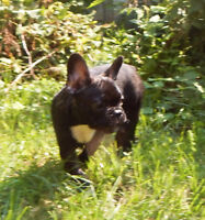 Adorable French bulldog female puppies