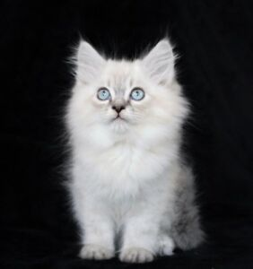 Pure Ragdoll Kittens for Adoption