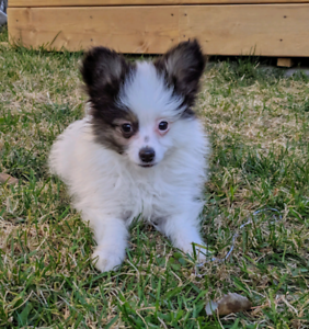 Pomeranian and Papillon Puppies!!
