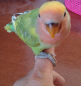 Lovebirds Sale | Adopt Local Birds in City of Toronto | Kijiji