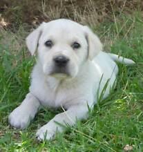 Mastiff X Golden Retriever Puppies Walpole Manjimup Area Preview