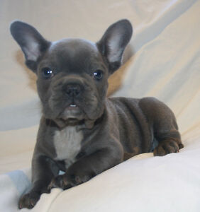 French Bulldog Puppies - 1 Blue Male Left!!