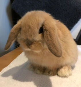 Gorgeous Purebred Holland Lop Bunny - Ready Now