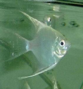 Tropical Fish - Platinum Angels for Sale