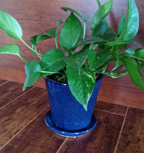Pothos plant in beautiful blue ceramic pot,  2 available