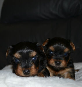 Yorkshires Terriers (www.yorkie-cam.com)