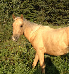 Herd reduction! Selling APHA and AQHA Strathcona County Edmonton Area image 5