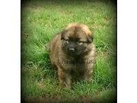*KC Health Tested Longcoat GSD puppy*