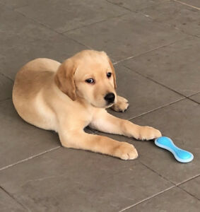 Beautiful yellow lab puppy for sale!