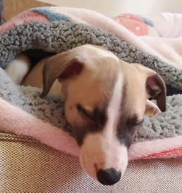 Beautiful whippet puppy 8 weeks old