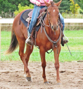 4 year old AQHA 16hh mare --well started and in foal for 2020