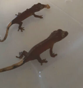 Cute Crested Gecko Babies Looking for Homes