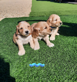 F1 rare cream cockapoo puppies
