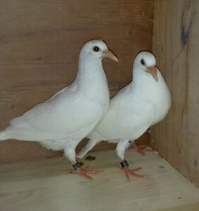 Pure White Racing Pigeons