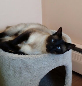 Lost Siamese Cat in Upper Coverdale