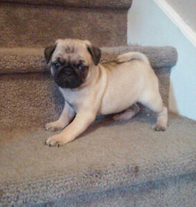 Upcoming litters of pug puppies!