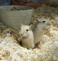 Hand tamed baby gerbils ready to go December 1st.