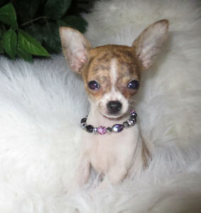 chihuahua  puppies miniature, tea cups  for sale