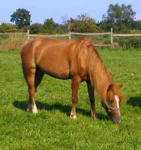 Reg Welsh x 5 year old mare - med size pony - finish her ur way London Ontario image 1