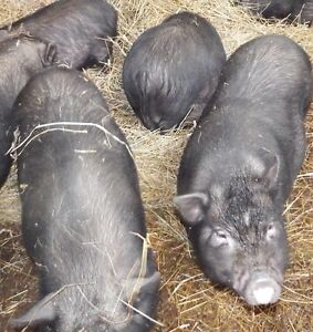 young pot belly pig sows