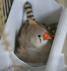 Four Hand Raised Zebra Finches in Cage