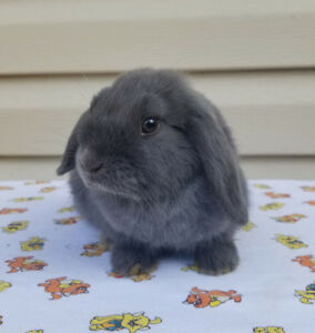 Blue colored Holland lop bunny
