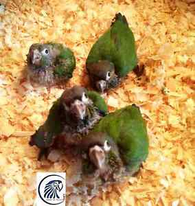 ★★★Very Friendly Baby Green Cheek Conure ★★★