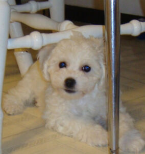Beautiful Bichon Puppy