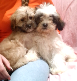 Beautiful jackapoos puppies