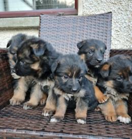 German Shepherd Pups Pedigree Flat Back