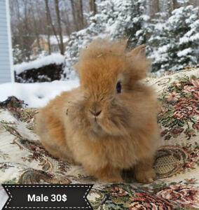 Bébé lapins tête de lion à vendre