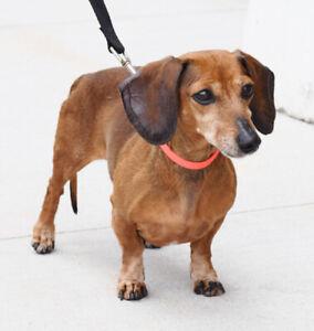 Dachshund | Adopt Dogs & Puppies Locally in Winnipeg