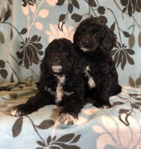 2 Male Cockapoos puppies for sale - Ready Now