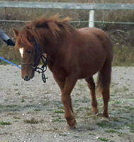 Cute, kind small pony for sale