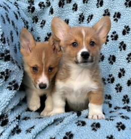 Welsh Corgi Pembpoke puppies