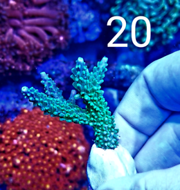 Marine reef coral frags