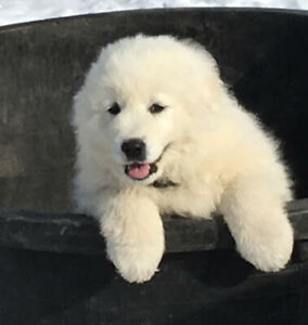 Guardian Maremma Puppies for sale
