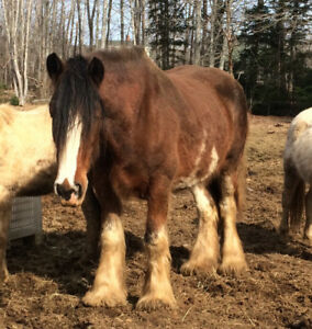 Registered Clyde mare for sale
