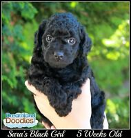 Labradoodle Puppies Available near Vancouver British Columbia