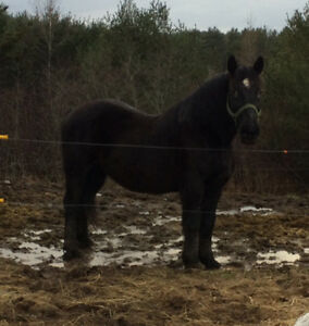 Percheron gelding for sale or trade